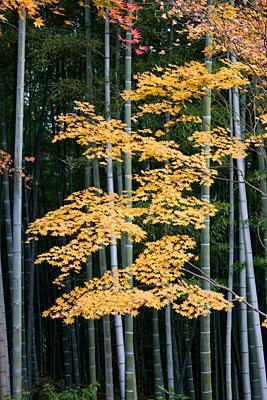Tapınak bahçesinden bambu ormanının görünüşü.