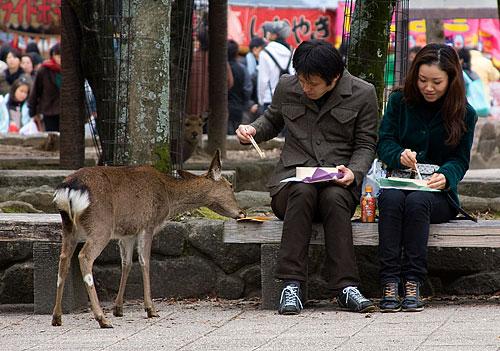 geyik-miyajima