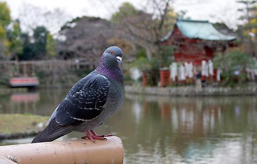 Genpei gölü kenarında güvercin. Arkada Hataage Benzaiten Tapınağı görünüyor.