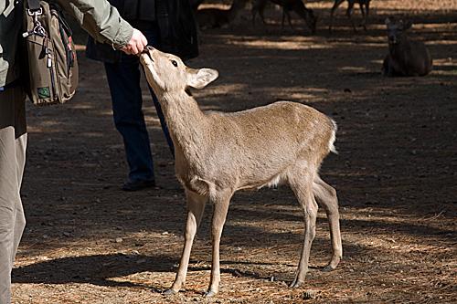 nara-geyik