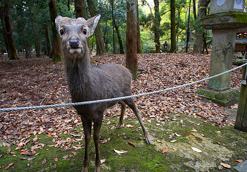 Nara'da şaşkın bakan geyik