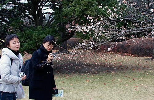 Kiraz ağaçlarının bazıları mevsiminden önce çiçek açıyor. Sakura denilen bu çiçeklerin Japon halkı için özel bir önemi var ve mutlaka ilgi gösteriyorlar.