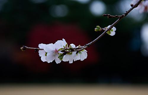 Sakuranın yakından görünüşü.