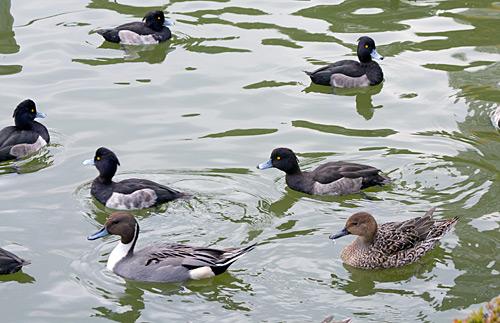 Ueno Parkı'nın havuzunda gezen yabanıl su kuşları.